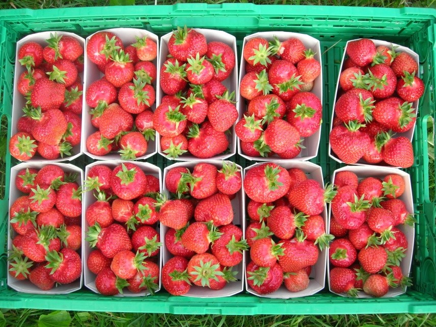 kaufmann_erdbeeren